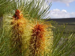 Silver Banksia plants excel at phosphate saving | Australian Plants on the Web | Scoop.it