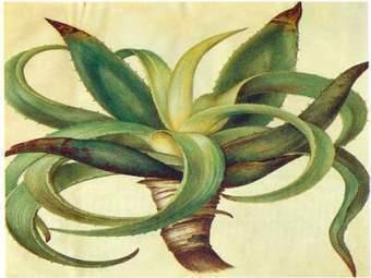 Aloe Vera, Sinkle Bible, Single Bible, Medicinal Herb, - Medicinalherbs-4u.com   cirugía endocrina   Scoop.it