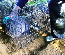 Pilot badger cull faces further delay - 9/10/2012 - Farmers Weekly | Life on Earth | Scoop.it
