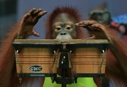 En Thaïlande, combats de boxe entre singes et balades controversées à dos d'éléphants | SandyPims | Scoop.it
