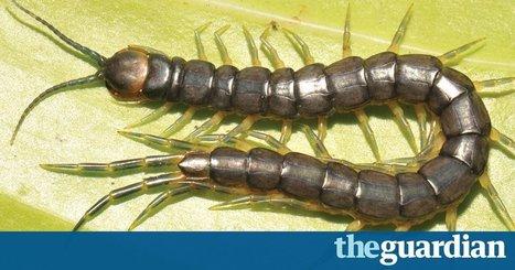 Giant swimming, venomous centipede discovered by accident in world-first | 100 Acre Wood | Scoop.it