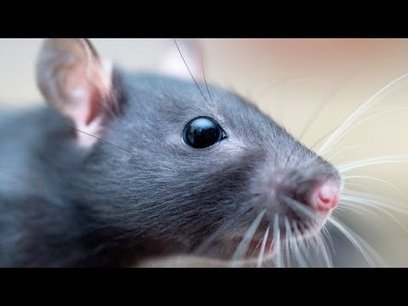 What's Owning a Pet Rat Like? | Pet Rats | Rob Ford admits | Scoop.it