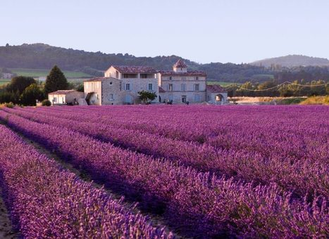 The Only Place For Provence Lavender Essential Oil | diana | Scoop.it