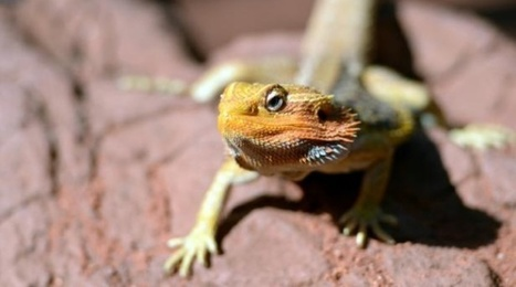 Des lézards changent de sexe sous les yeux des scientifiques | Biodiversité & Relations Homme - Nature - Environnement : Un Scoop.it du Muséum de Toulouse | Scoop.it