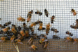 American Museum of Natural History News » Young Naturalist Tests Honeybee Memory Endurance | Biology@BellaOnline | Scoop.it