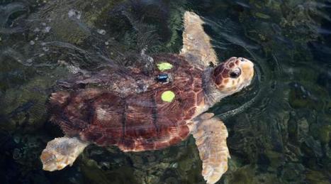 Fréjus. Tortue marine venue pondre sur une plage : éclosion d'un œuf | Biodiversité | Scoop.it