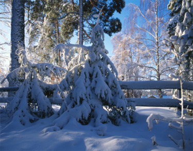 Prevent winter damage to evergreens | Gardening Life | Scoop.it