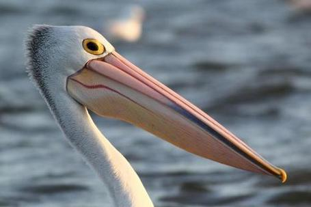 Amazing Facts About Pelicans! | Polymath Online | Scoop.it