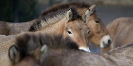 En le domestiquant, l'homme a modifié l'ADN du cheval | Equidés | Scoop.it
