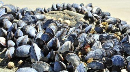 Gel inspired by mussels might act as filling putty for blood vessels | Longevity science | Scoop.it