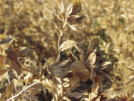 Crop of the Week: Safflower | CALS in the News | Scoop.it
