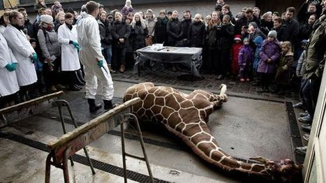 Second Danish zoo plans to kill young giraffe to stop inbreeding - Fox News | zoo should not exist | Scoop.it