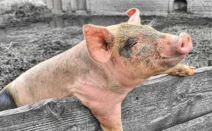 Stop South Korea From Burying Pigs Alive | Nature Animals humankind | Scoop.it