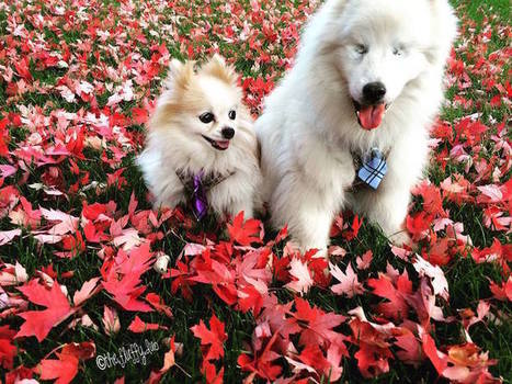 Tiny Rescued Pomeranian Serves as Seeing Eye Dog for His Blind Best Friend | Le It e Amo ✪ | Scoop.it