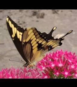 Photos - Un papillon exotique découvert au Québec | Nature insolite | Scoop.it