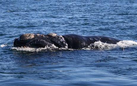 Exceptionnel : une baleine noire du Pacifique Nord vue pour la première fois en 60 ans | The Blog's Revue by OlivierSC | Scoop.it