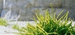 Un désherbage 100% naturel | CAP21 | Scoop.it