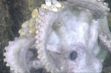Octopus mom protects her eggs for an astonishing 4-1/2 years | enjoy yourself | Scoop.it