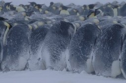 Why penguins are born without feathers if they live in cold climates? | onlinepetanswers | Scoop.it
