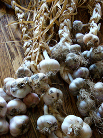 How to Grow Garlic in Your Garden. Plus, Harvesting & Storage Tips! | Perennial Gardens | Scoop.it