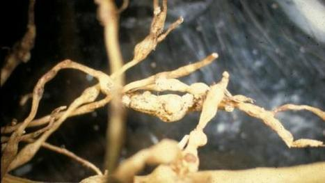 6 steps to sample soil for root-knot nematodes | Western Farm Press | CALS in the News | Scoop.it