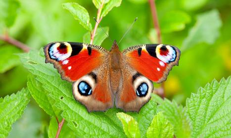 Butterflywatch: Nectar points for life | Amazing World | Scoop.it