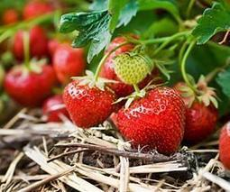 Organic farming improves pollination success in strawberries | YOUR FOOD, YOUR ENVIRONMENT, YOUR HEALTH: #Biotech #GMOs #Pesticides #Chemicals #FactoryFarms #CAFOs #BigFood | Scoop.it