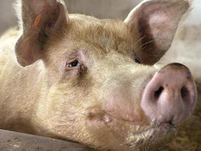 Tämän jälkeen et enää syö eläimiä   Eläinten syömisestä   Scoop.it