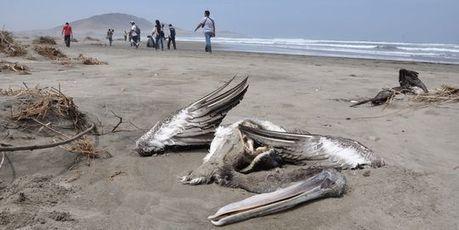 Deux mille oiseaux retrouvés morts sur les plages chiliennes   Toxique, soyons vigilant !   Scoop.it