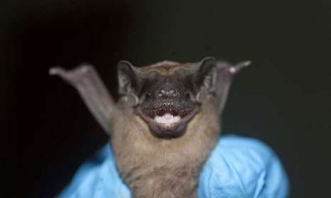 Bats frequently come into contact with infectious diseases, but rarely suffer ... - Phys.Org | Bat Biology and Ecology | Scoop.it