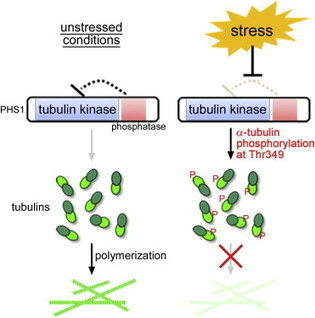 Current Biology - An Atypical Tubulin Kinase Mediates Stress-Induced Microtubule Depolymerization in Arabidopsis | abiotic stress | Scoop.it