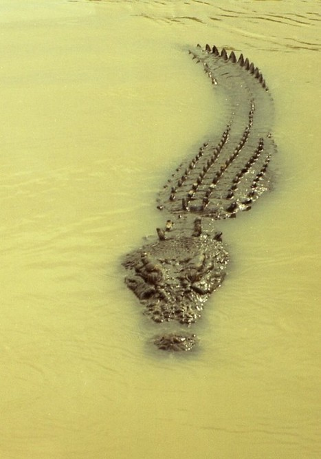 Crocodiles, Alligators, Caimans, and Gharials -- Crocodilian Facts And Images (10 Friday Photos) | PlanetSave | Politically Incorrect | Scoop.it