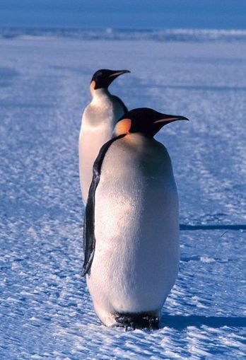 Environment 360: Faced With Sea Ice Loss, Emperor Penguins Alter Their Breeding Tactics | Amazing Science | Scoop.it