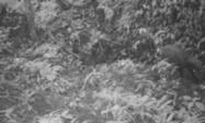 El saola, una rara especie de mamífero de Vietnam, reaparece tras 15 años desaparecido | Reflejos | Scoop.it
