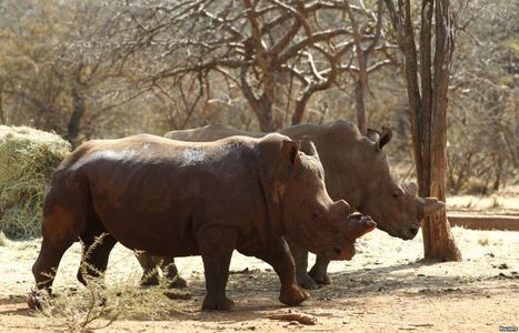 New Study Profiles Rhino Horn Buyers | What's Happening to Africa's Rhino? | Scoop.it