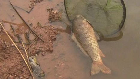 Great Witley Estate pools virus leaves 300 carp dead - BBC News | Aquatic Viruses | Scoop.it
