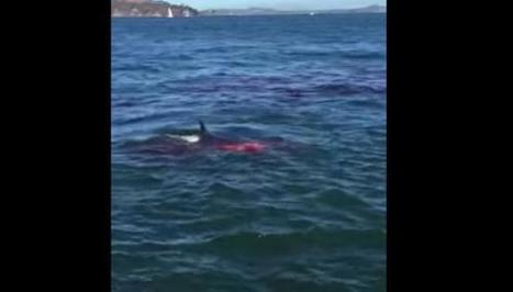 Tourists Watch Great White Shark Devour A Seal In Alcatraz Island  - I4U News | Politics Daily News | Scoop.it