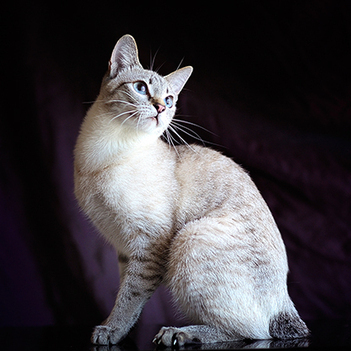 Mekong bobtail Cat | Cat Breeds Information | Scoop.it