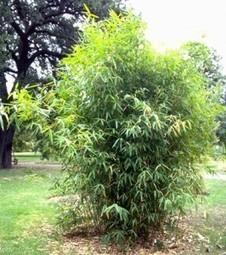 Le bambou | Se connaître | TPE Bambou | Scoop.it