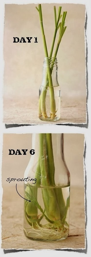 How to Re-Grow Lemongrass from Kitchen Scraps | My Favorite Things | World In Green | Scoop.it