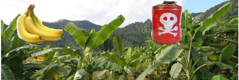 L'Etat laisse-t-il volontairement la Martinique s'empoisonner au chlordécone ? | Toxique, soyons vigilant ! | Scoop.it
