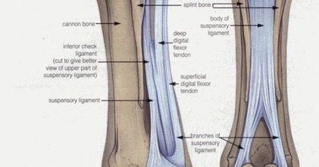 Sesamoid Injuries | EQUINE SCIENCE | Scoop.it