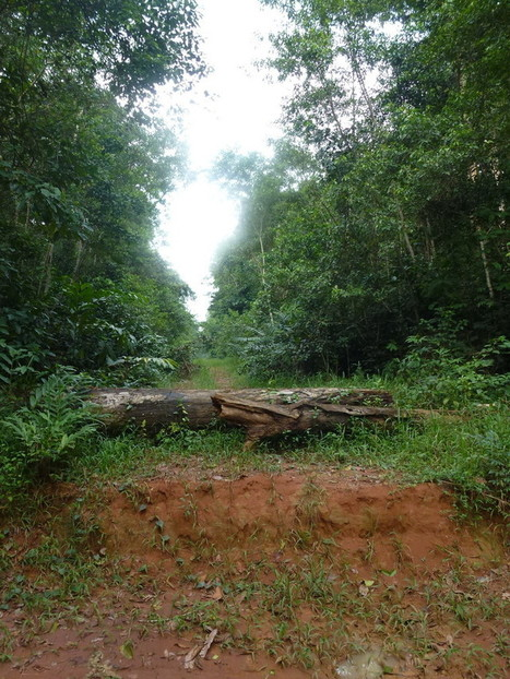 How forests recover rapidly on logging roads in the Congo Basin | La parole de l'arbre | Scoop.it