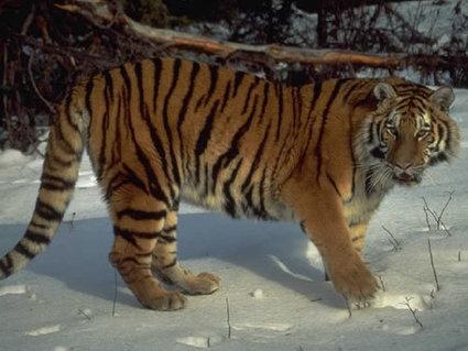 British tiger parts trader gets 120 hours community service | Biodiversity | Scoop.it