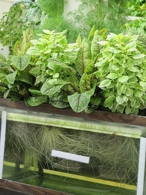 BalconyContainerGardening.com - How to Create a Hydroponic Growing Aquarium | Vertical Farm - Food Factory | Scoop.it