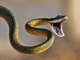 8 died in snake bite in ambikapur, korba, raigarh | Latest News | Scoop.it