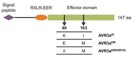 Single Amino Acid Mutations in the Potato Immune Receptor R3a Expand Response to Phytophthora Effectors   MPMI 27:624   Plant-Microbe interactions   Scoop.it