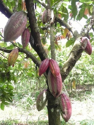 Fair Trade Addresses Key Challenges in Cocoa | Refresh | Social Studies 10F | Scoop.it