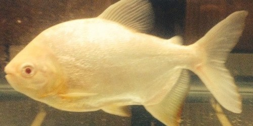 And the name of our testicle eating fish is for Names of fish to eat
