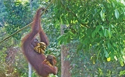 Endangered Animals Fight for Their Lives in Borneo's Forests | I Love Philippines | Scoop.it